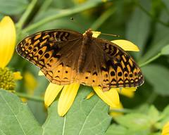 great spangled fritillary (crgillette77) Tags: pennsylvania wyomingcounty butterfly speyeriacybele greatspangledfritillary