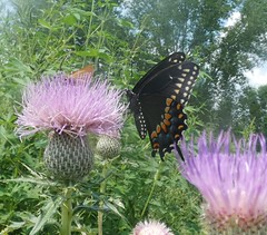 Black Swallowtail (Keith Roragen) Tags: nebraska insect lepidoptera butterfly papilionidae blackswallowtail papilio polyxenes boyerchutenationalwildliferefuge