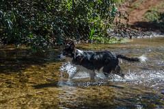 Lara no rio (mcvmjr1971) Tags: parque estadual da serra do papagaio lado de baependi minas gerais brasil nikon d7000 border collie dog cachorro fun river rio play brincando água water 2018