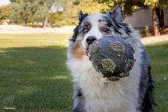(25/52)  The Dog World Cup (Jasper's Human) Tags: 52weeksfordogs aussie australianshepherd soccer football worldcup