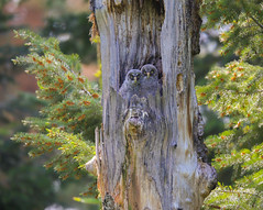 Great Gray Owlets (Khanh B. Tran) Tags: