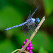 Dragon Fly and Beauty Berry