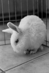 Marshmallow (squirtiesdad) Tags: marshmallow dwarf rabbit diyfilmscanning selfdeveloped epson v600 monochrome blackandwhite bw analogue analog bwfp aristaedu arista iso100 35mm film vivitar 220sl