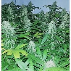 Unknown (Watcher1999) Tags: skunk super cannabis seeds thc strains california medical marijuana bob marley growing weed smoking ganja legalize it reggae