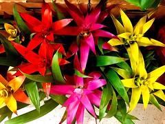 #Dream in #Colors (RenateEurope) Tags: bromelia 2018 renateeurope iphoneography germany nature flowers flora dream colors