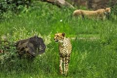 Geparden.....gleich doppelt (Fritz Zachow) Tags: zoo leipzig deutschland geparden raubkatze katze gras grün baum