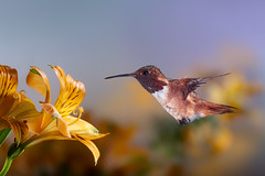 Allen's (Patricia Ware) Tags: allenshummingbird alstroemeria backyard birdsinflight california canon manhattanbeach multipleflash selasphorussasin tripod httppwarezenfoliocom ©2018patriciawareallrightsreserved specanimal sunrays5