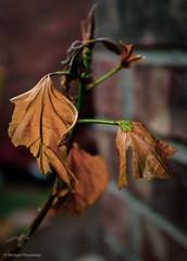 Too late (photo.po) Tags: fixlens fujifilmx100 fujifilmphotography fujifilmcamera bokeh plant drought leafs
