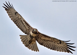 surf-shot-red-tailed-hawk-24-October-2015--0204