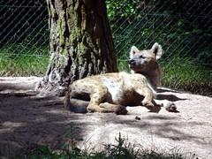 hilvarenbeek_4_046 (OurTravelPics.com) Tags: hilvarenbeek african wild dog safaripark beekse bergen