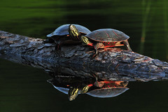 OzzieAndHarriet2 (2) (Rich Mayer Photography) Tags: turtle turtles nature wild life wildlife water log animal animals nikon