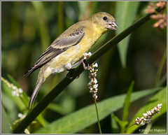 A Female Goldfinch 2038 (maguire33@verizon.net) Tags: frankgbonelliregionalpark bird female finch goldfinch wildlife sandimas california unitedstates us