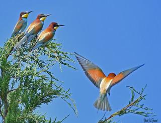 Le guêpier d'Europe  en vol et 3 autres le regardent..(Merops apiaster)