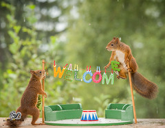 red squirrels with an wire with welcome (Geert Weggen) Tags: thankyouphrase squirrel humor partysocialevent animal greetingcard birthday clothesline cute holidayevent vacations affectionate alphabet animalfamily birthdaypresent care celebration closeup colorimage concepts conceptstopics dating day gift honeymoon horizontal iloveyou loveemotion mammal nature nopeople outdoors photography positiveemotion red relaxation rodent romance sweden wallpaperdecor washing valentine friendship welcome bispgården jämtland geertweggen geert weggen ragunda hardeko