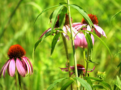 Butterfly Garden (smborkowski6) Tags: garden cone flower butterfly summer bee midday sunshine tiger lily tigerlily beebalm