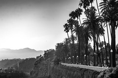Vantage Point Palms BW (cmctaggs) Tags: california dreaming malibu santa monica montica pier peer peir beach susnet rodeo blvd famous celebrities homeless life bum bike dog puppies cute amateur street candid art sunset cemetery cemetary westwood hollywood puppy yorkie explored nikon d7100 prime lens 50mm bokeh cali vapor wave aesthetic weed 420 bruh idk