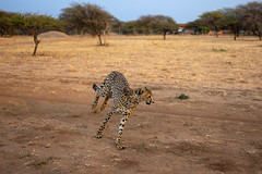 L1009229 (Ivan Lau) Tags: namibia cheetahconservationfund