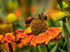 Bee on Helenium (Maria-H) Tags: arley england unitedkingdom gb bee helenium arleyhall garden cheshire uk olympus omdem1markii panasonic 100400