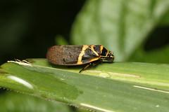 Hemiptera, Cercopidae sp. (Froghopper) - Kibale, Uganda (Nick Dean1) Tags: animalia arthropoda arthropod hexapoda hexapod insect insecta hemiptera cercopidae froghopper uganda kibalenationalpark kibale