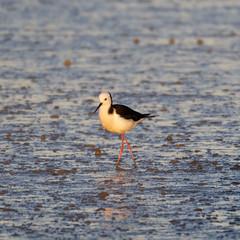 Pied stilt (DanD_NZ) Tags: birds newzealand nikkor200500mmf56 nikond500 miranda piedstilt