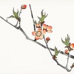 Peach by Kōno Bairei (1844-1895). Digitally enhanced from our own original 1913 edition of Barei Gakan. thumbnail