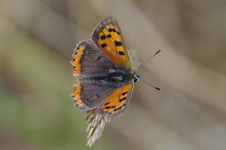 IMGP7471c Small Copper, Lackford Lakes, July 2018