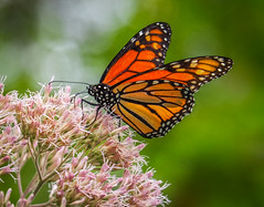 Monarch (Shannonsong) Tags: monarch butterfly insect lepidoptera nature joepyeweed wildlife mariposa wv wings macro