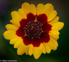 @ Garden (aixcracker) Tags: nikond800 medicomat 105mm macro makro nikon d800 flower blomma kukka august augusti elokuu summer sommar kesä porvoo suomi borgå finland yellow gul gult keltainen green grön vihreä red röd punainen petals kronblad terälehti lähikuva