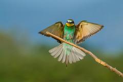 Gruccione in Atterraggio. Bee-Eater landing. (Meros Apiaster). (omar.flumignan) Tags: gruccione beeeater merosapiaster atterraggio landing canon eos 7d ef100400f4556lisusm ngc