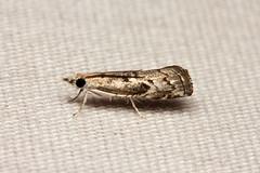 Crambidae sp. - Kibale, Uganda (Nick Dean1) Tags: animalia arthropoda arthropod hexapoda hexapod insect insecta lepidoptera moth kibale kibalenationalpark uganda