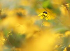 Yellow (Tomo M) Tags: yellow bokeh blur outdoor plant nature hellios