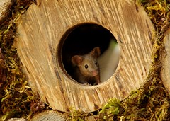 wild house mouse in a log hole (Simon Dell Photography) Tags: wild george log pile house mouse nature garden animal rodent cute fun funny summer fruits berries berrys display lots bounty moss covered simon dell photography sheffield 2018 aug cool awesome countryfile ears close up high detail cards design hole wood