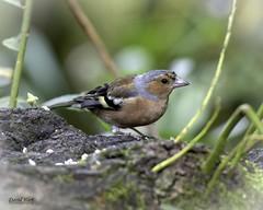 Chaffinch (David R Hart) Tags: davidhart nikond850 afsnikkor200500mmf56edvr chaffinch rspb leightonmoss lancaster lancashire england bird wildlife nature
