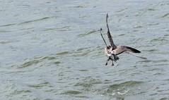 Gulls J78A0867 (M0JRA) Tags: birds gulls flight flying wildlife rats walks gardens parks fields trees lakes ponds ducks swans rspb