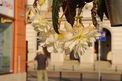 180618 - Warmer Morgen, warme Farben (klaas.sperling) Tags: polen breslau wroclaw schlesien slask blüten licht morgen morgenlicht intensiv cremefarben warm strasenszene