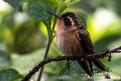 DSC_7377.jpg (Augusto Ilian G) Tags: adelomyiamelanogenys colibrípechipunteado speckledhummingbird