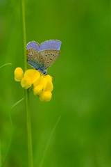 Bleu gourmand (jpto_55) Tags: papillon bleu proxi bokeh xe1 fuji fujifilm fuji55200f3548rlmois hautegaronne france