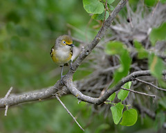 White-eyed vireo (justkim1106) Tags: vireo whiteeyedvireo smallbird wildlife texasbird texaswildlife bokeh naturebokeh beyondbokeh
