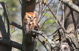 *** Petit-duc maculé forme rousse / Eastern Screech Owl red morph
