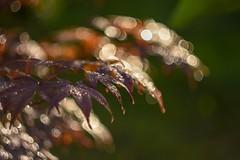 Bokehlicious Japanese maple. (agnieszka.a.morawska) Tags: raindrops dof summer garden aftertherain helios helios44m bkhq light beyondbokeh bokeh bokehlicious