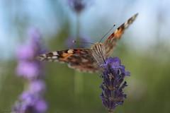 8Y8 (Bertrand HANS) Tags: macromondays linesymmetry macro 100mm canon hans bertrand hansbertrand nature papillon plante fleur bokeh belledame