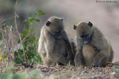 Exchanging ideas (leendert3) Tags: leonmolenaar southafrica krugernationalpark wildlife nature mammals chacmababoon ngc npc coth5