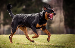 dog Pico (atlas-fotografie) Tags: dog pets rottweiler outdoorphotography outdoor