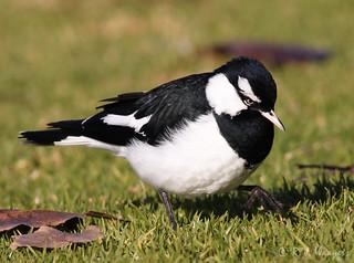 Magpie Lark, male