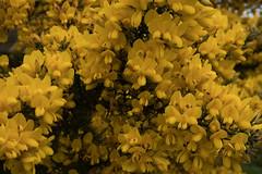 jdy106XX20170416a4254Bias0 stops.jpg (rachelgreenbelt) Tags: ulexeuropaeusgorse naturallyoccurringplantorweed eudicots england colorswhiteyellowgreen ulex cultivarweednativenaturalplants coloryellow rosids devon tarkatrailnearwoolacombe orderfabales europe familyfabaceae uk 710feet greatbritain magnoliophyta naturallyoccurringplant unitedkingdom beanfamily fabaceae fabaceaefamily fabales fabalesorder floweringplants furze gorse legumefamily leguminosae oneplant peafamily shrub singleplantportrait spermatophytes weed whin
