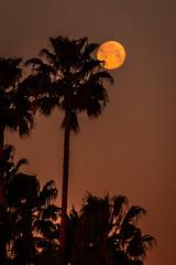 D19249E7 - Full Moon Set at Dawn (Bob f1.4) Tags: full moon set behind palm trees reflected dawn sunrise orange sky discovery bay ca california spring 2017 silhouette