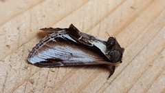 20180812_112539 (Paul Young1) Tags: lesserswallowprominent pheosiagnoma notodontidae 1 one single moth moths animal animals insect insects insecta arthropod arthropods arthropoda lepidoptera nature wild wildlife uk british britain perched perching close study imago unitedkingdom closeup side sideview closedwings head