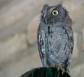 Western Screech Owl - Southwest United States