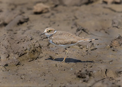 Little Ringed Plover ( Charadrius dubius ) (Dale Ayres) Tags: little ringed plover charadrius dubius bird nature wildlife mud