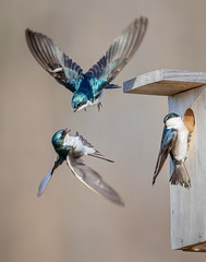 Tree Swallow Fight (Jerry_a) Tags: birds treeswallow birdinflight birdsatfeeders canon600mmf4isusmii canon1dxmarkii bombayhooknwr delaware